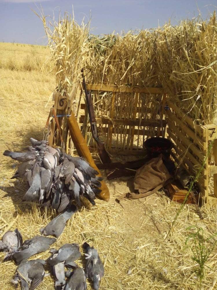 Puestos de paloma torcaz en Madrid 2ª Tirada